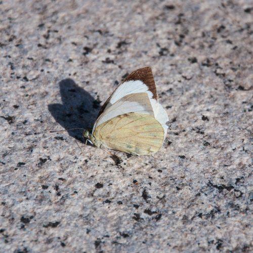 Butterfly Sardinia Fauna