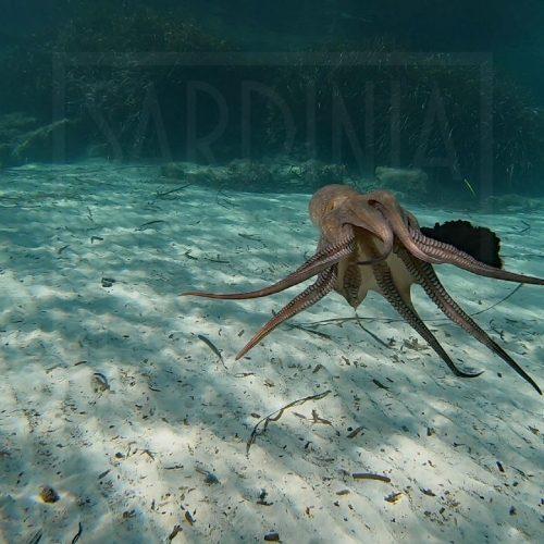 Octopus squirting ink La Maddalena