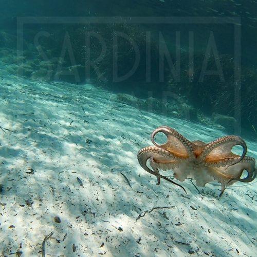 Mediterranean Octopus Sardinia