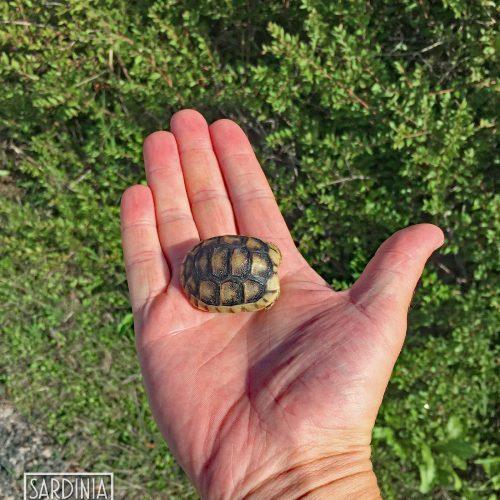 Small Turtle Sardinia